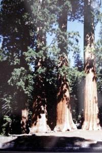 1987_sequoa